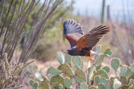 Harris Hawk in Flight across the Arizona Southwest Desert 写真素材