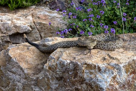 Hissing Mexican West Coast Rattlesnake Coiled on a Garden Boulder