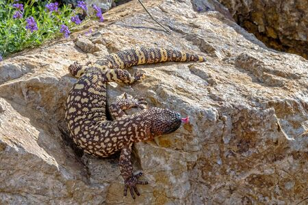 Mexican Beaded Lizard climbing down a Garden Boulder