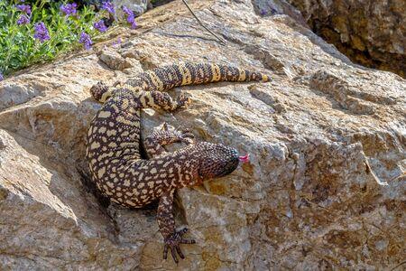Mexican Beaded Lizard climbing down a Garden Boulder
