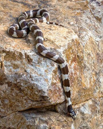Eastern Kingsnake or Common Kingsnake Crawling down a Boulder