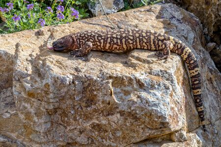 Hissing Mexican Beaded Lizard climbing across a Garden Boulder
