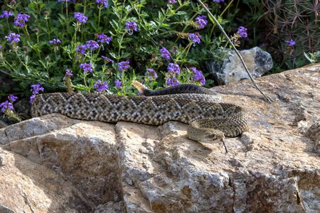 Hissing Mexican West Coast Rattlesnake Coiled on a Garden Boulder 版權商用圖片