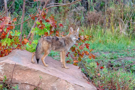 Coyote in the Woods with Autumn Colors Standard-Bild