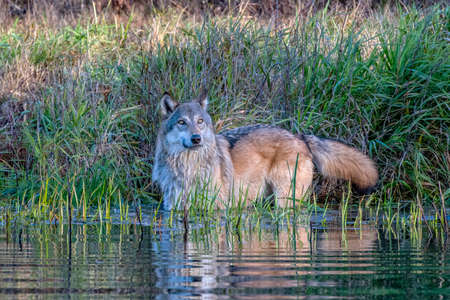 Grey Wolf Standing in Water with Rippling Reflection