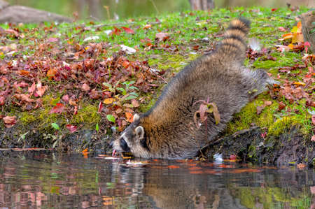 Raccoon leaning into the Water for a Drink