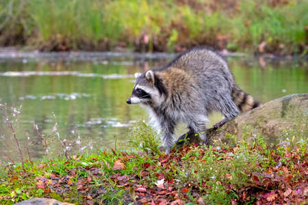 Raccoon stands on Shore looking over the Water