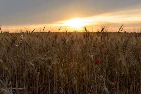 poppy field: Wheat field at sunset with red poppy