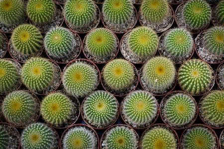 puncture: planting cactus Stock Photo