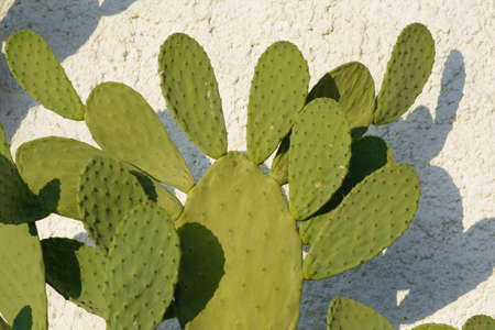prickly: plant prickly pears Stock Photo