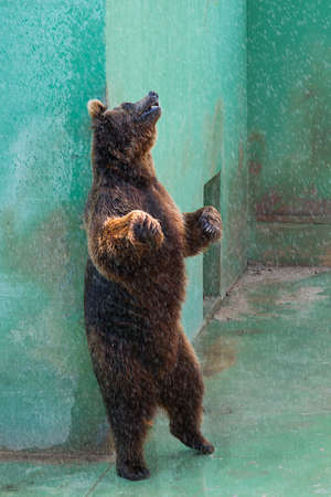 bear standing while you scratch my back Stock Photo