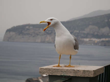 scavenger: Seagull standing on a support column on a metal fence overlooking a calm sea squawking raucously while looking to the side Stock Photo
