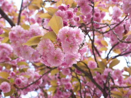 Close-up image of rhododendron tree brunches in blossom, with pink flowers and leaves