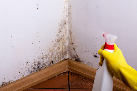 Black mold in the corner of room wall. Preparation for mold removal. Stockfoto