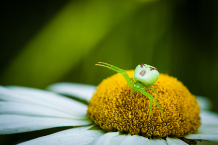 goldenrod spider: The Green Crab Spider (Misumena vatia) Stock Photo