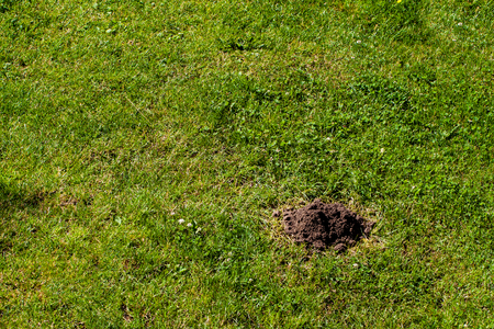 molehill: Molehill on grass lawn, many copy space on your project.