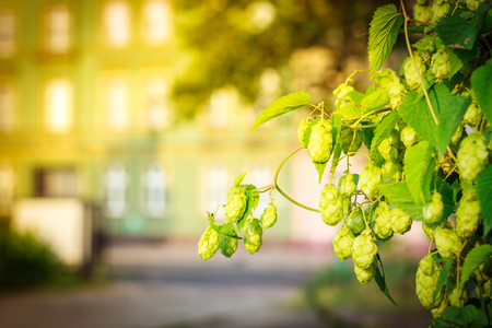 Background green bush of cones and leaves hops, on second plan facade tenement house. Stock Photo