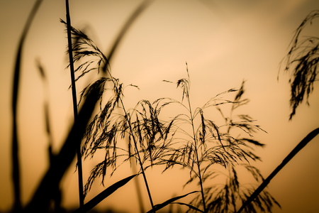 Reed grass against the pastel sunrise sky.