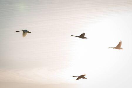 Flying swans in morning light tone. Stock Photo