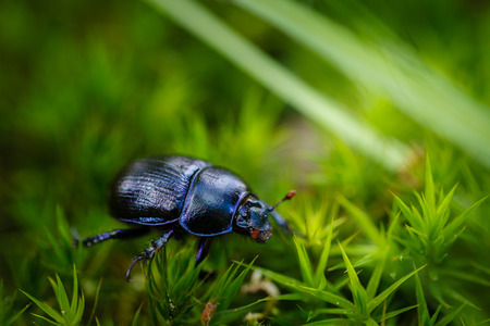 Dung beetle on green moss and grass in forest. Stock Photo