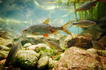 Vissen drijvend op de bodem van de Odra-rivier.