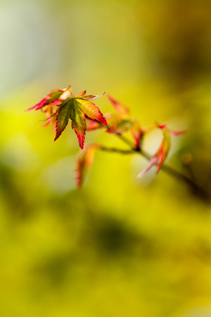 Acer palmatum small leaf at blurred background. Stock Photo