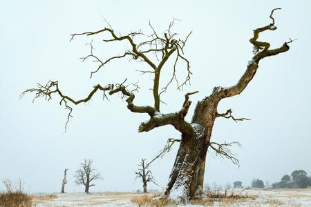 wielkopolska: Oaks in the winter aura. Rogalin Landscape Park in Poland, Wielkopolska.