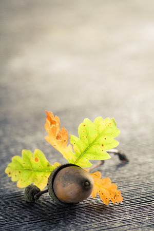 Single oak acorn and leaves on gray wooden cracked background. Stock Photo