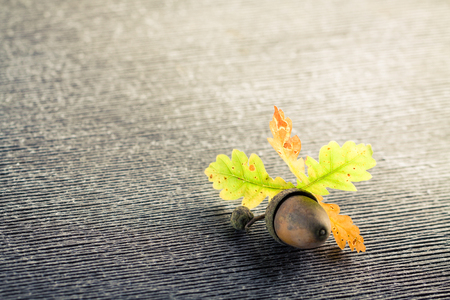 grooves: Single oak acorn and leaves on gray wooden cracked background. Stock Photo