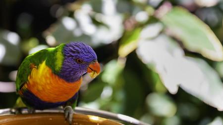 Rainbow lorikeet parrot is eating something from feeder.