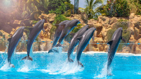 Group of jumping dolphins during show in zoo.