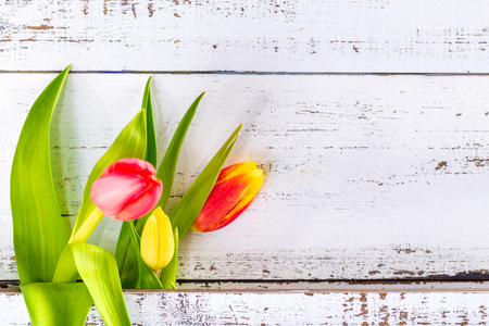 Spring colored tulips arranged between white rustic boards with copy space. Stock Photo