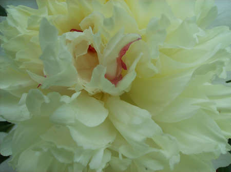 Creamy White Peony Flower Closeup with pink inside photo