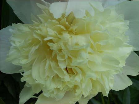 クリーミーな白牡丹の花のクローズ アップ