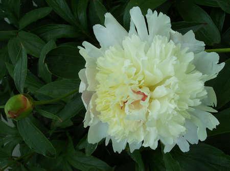 クリーミーな白牡丹の花