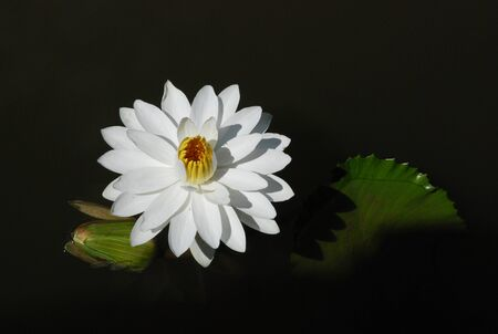 water lily in black water Stock Photo - 15951957