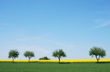 trees in a rapeseed field