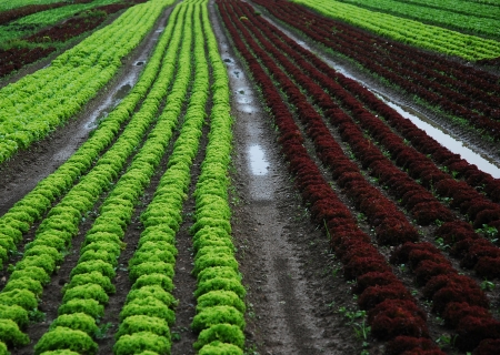 Long rows of vegetables in the field