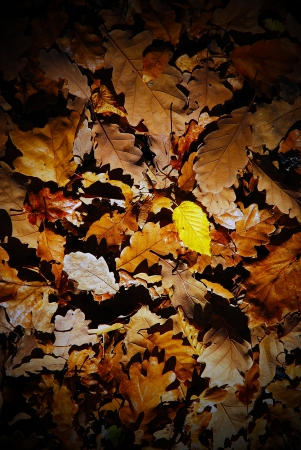 Texture of autumn leaves, with one yellow leaf Stock Photo