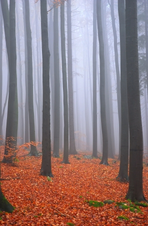 Autumn fog in beech forrest, with yellow leafs Stock Photo
