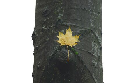 Maple leaf lying on beech trunk, on a white background Stock Photo - 16316925
