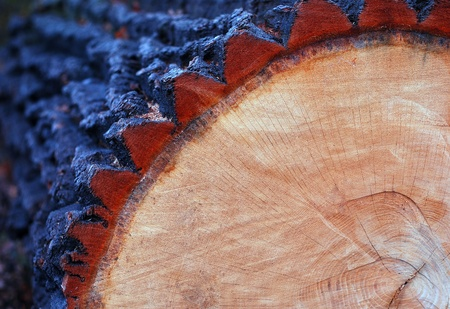 cut oak trunk with annual rings Stock Photo - 16421291