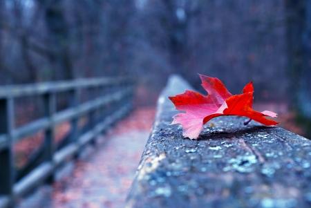 Red autumn leaf on old wooden bridge in autumn photo