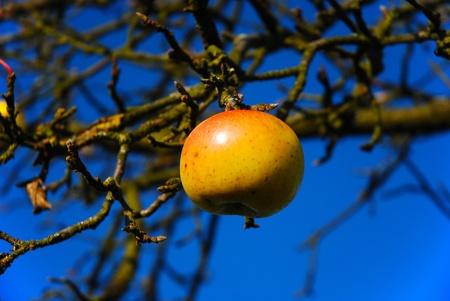 last apple on the tree under blue sky Stock Photo - 16692526