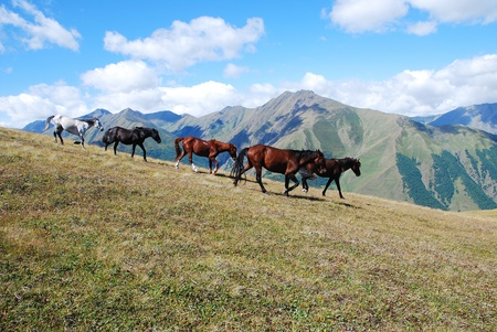 herd of wild horses galloping high mountains