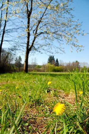 Spring blooming dandelion in a meadow under the blossoming tree Stock Photo - 17832463
