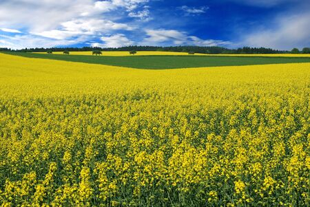 field of oilseed rape, spring yellow with blue sky Stock Photo - 17832465