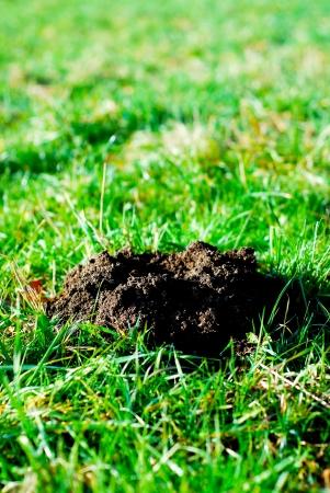 molehill: Fresh molehill on a green meadow garden