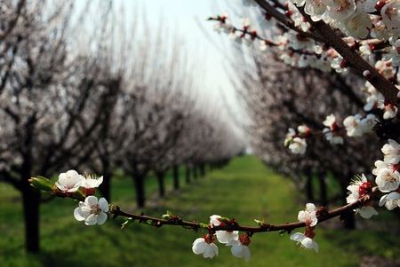 orchard with flowering trees, white spring flowers on the branches Stock Photo - 19508077