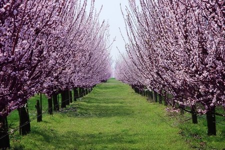 orchard with flowering trees, pink spring flowers on the branches Stock Photo - 20134082